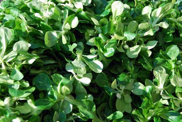 Roszponka to roślina warzywna, której częścią jadalną są liście