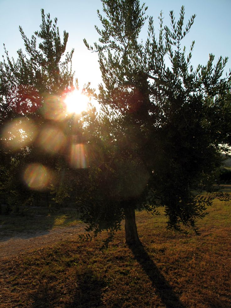 Olive Tree in our Grove in Le Marche.