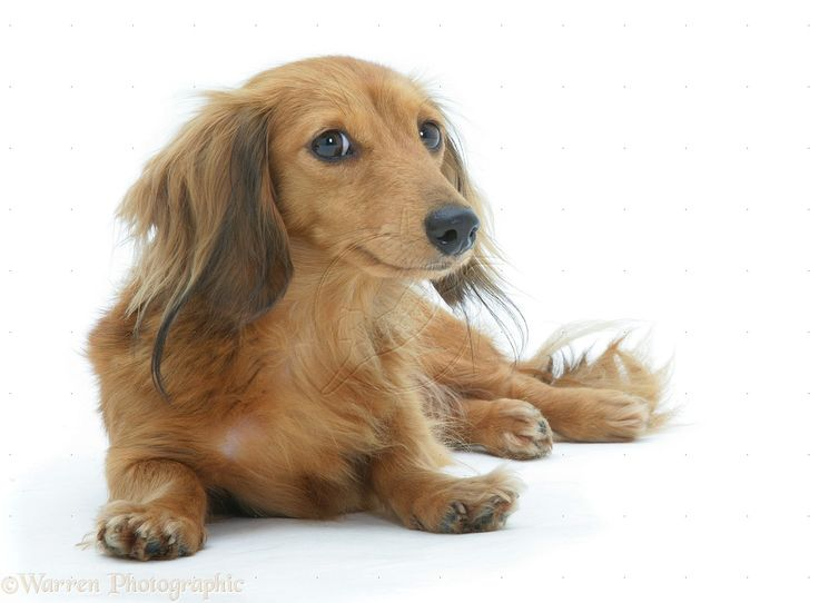 Red miniature longhaired Dachshund lying, head up.