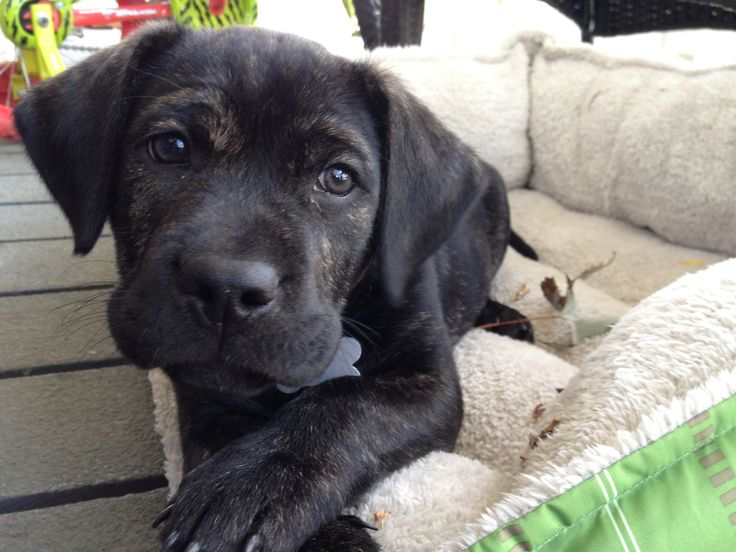 Black and brindle pitbull puppy | Doggy Love | Pinterest ...