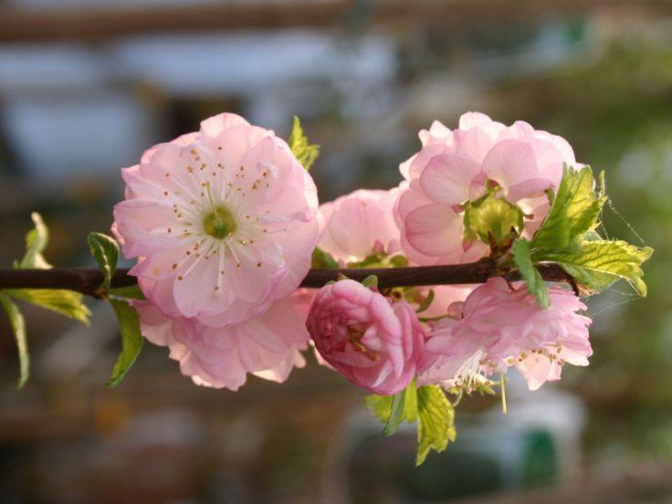 Mandelbäumchen / Mandelbaum - Prunus triloba