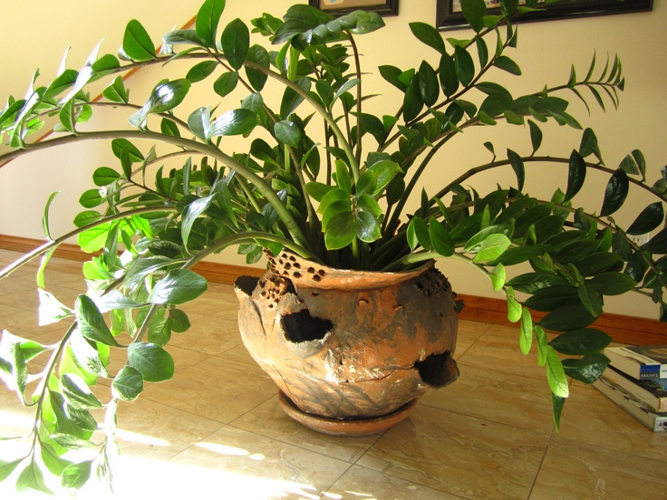Zamioculcas zamiifolia folhas pinterest for Zamioculcas cura