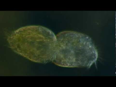 Protozoa Binary Fission Asexual Reproduction - YouTube