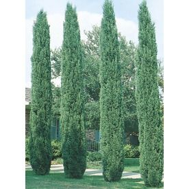 Italian Cypress, tall with small girth.  Needs full sun
