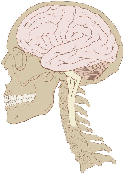 File:Skull and brain normal human.svg