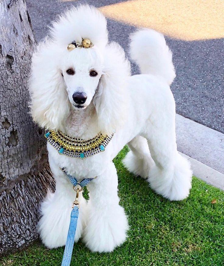 Pin Von Marys Vienna Auf Poodlelove Terrier Hund Standard Pudel