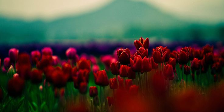 Red Flowers Tulips