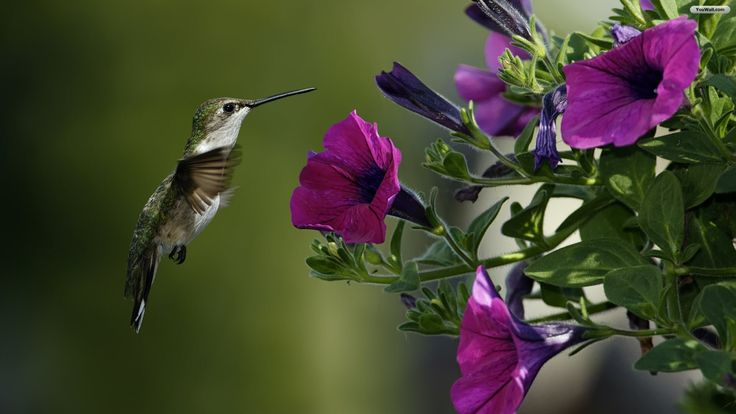 Fondo de pantalla de colibries