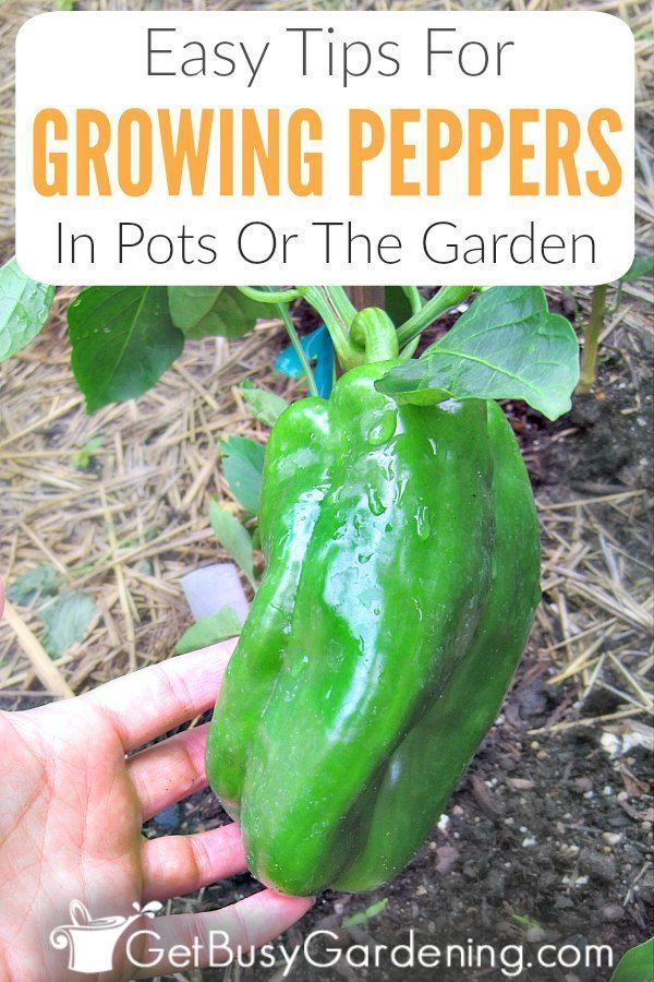 Easy Tips For Growing Peppers Growing Peppers Stuffed 400 x 300