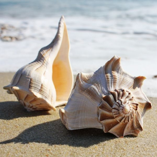 Lightning Whelk Shell | Seashells | Beach Shells - buy the sea