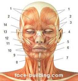Схема основных мышц лица и шеи человека
