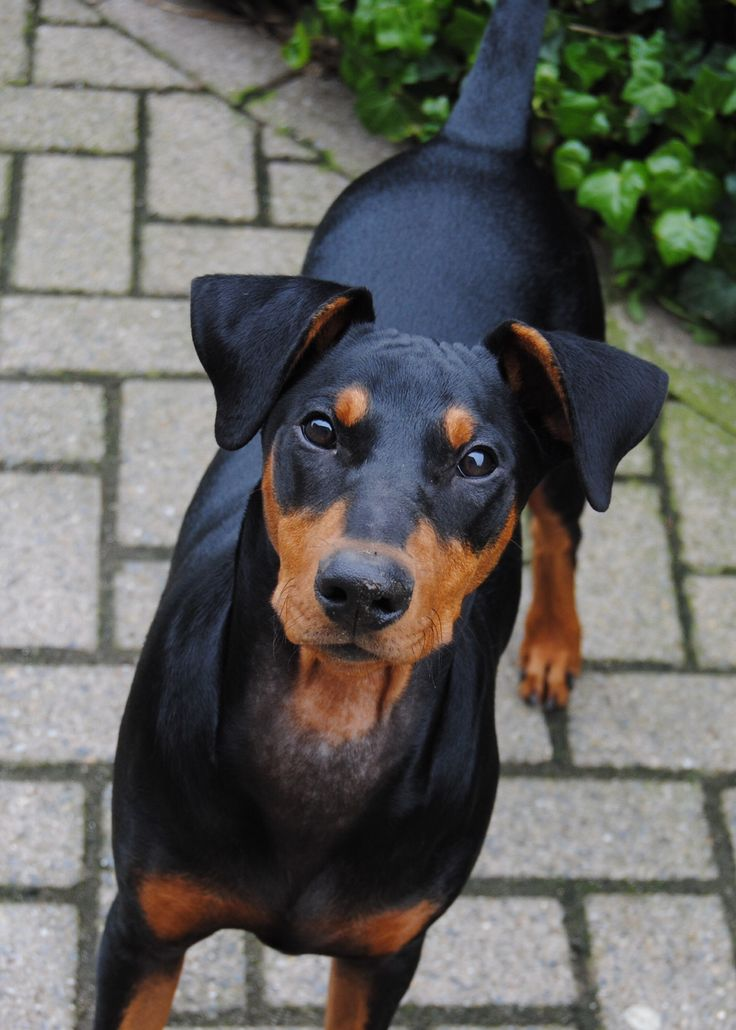 79 best images about german pinscher duitse pinscher on pinterest working dogs sacramento. Black Bedroom Furniture Sets. Home Design Ideas