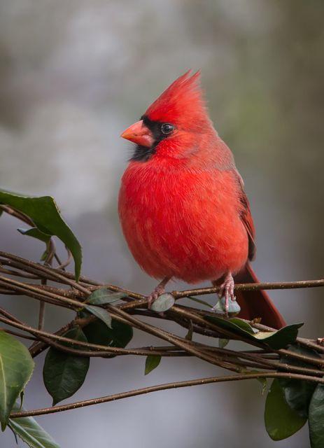 albino cardinal - Yahoo Image Search Results