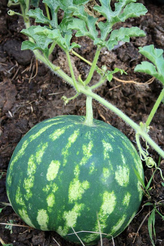 Wassermelone wächst