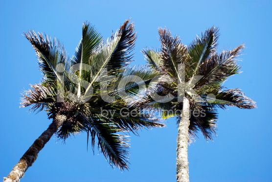 Nikau (Rhopalostylis sapida) Palms, New Zealand royalty-free stock photo