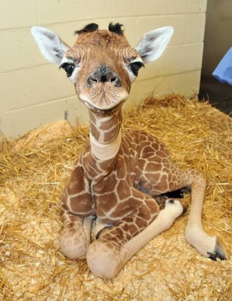 baby giraffe.... look at his legs!! and bushy eyebrows! How can this not make you smile?!?!?!