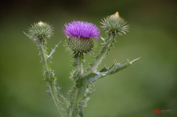 Thistle flower (Silybum marianum) by Laszlo Som on 500px