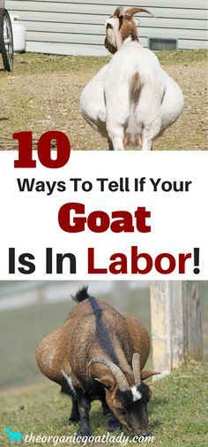 10 ways to tell if your goat is in labor!