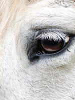 Les consultations concernant l'oeil sont fréquentes en équine, l'auxiliaire vétérinaire a un rôle important en amont.(Je me connecte pour lire l'article avant de cliquer sur le lien) : http://www.auxivet.com/ASV_magazine/article.php?storyid=230