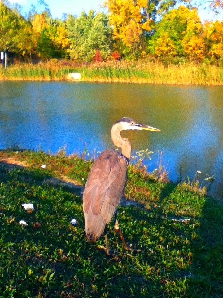 I actually managed to get up to this blue heron even touch it, it was very docile