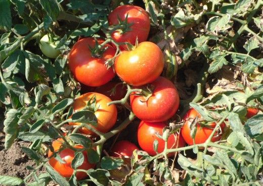 Томаты - поливать или не поливать?Смотрите количество и качество плодов без полива