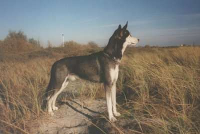 Alaskan Huskies are carefully bred to produce the best working dogs possible. The breedings of the Alaskan Husky are planned breedings and are technically pedigreed, however they are not consider pure and are not registered by the AKC or CKC because they are sometimes crossed with other Northern and non-Northern breeds to produce the best working dogs possible
