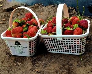 Real Life Math - Strawberry Picking: could adapt with picking up rubbish in yard, rocks, bark, real life multiplication
