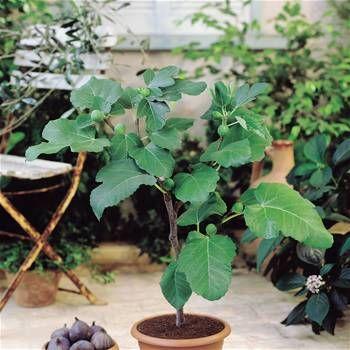 ber ideen zu feigenbaum auf pinterest kr uter anpflanzen anbau von gem se und pflanzen. Black Bedroom Furniture Sets. Home Design Ideas