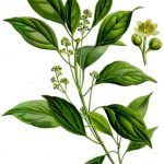 Ho Wood, (Cinnamomum camphora ct linalool) belongs to the Lauraceae Family. There are three different varieties of the camphor tree.