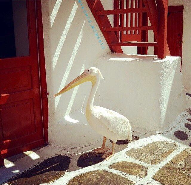 The official mascot of the island -Petros the pelican- , at Mykonos island (Μύκονος) . Has the glory of celebrity and he knows exactly how to steal the show .