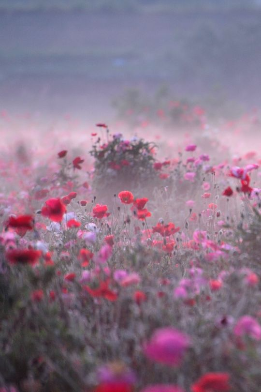 tulipnight:  Poppy Field on Misty Morning by Teruo Araya