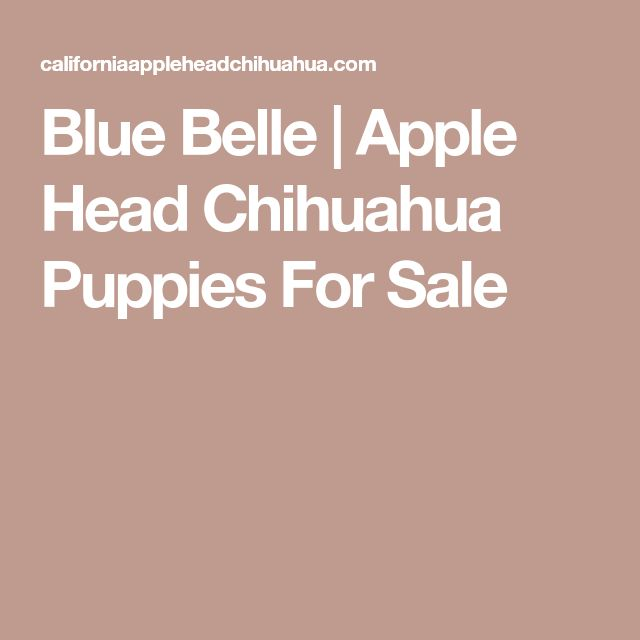Blue Belle | Apple Head Chihuahua Puppies For Sale