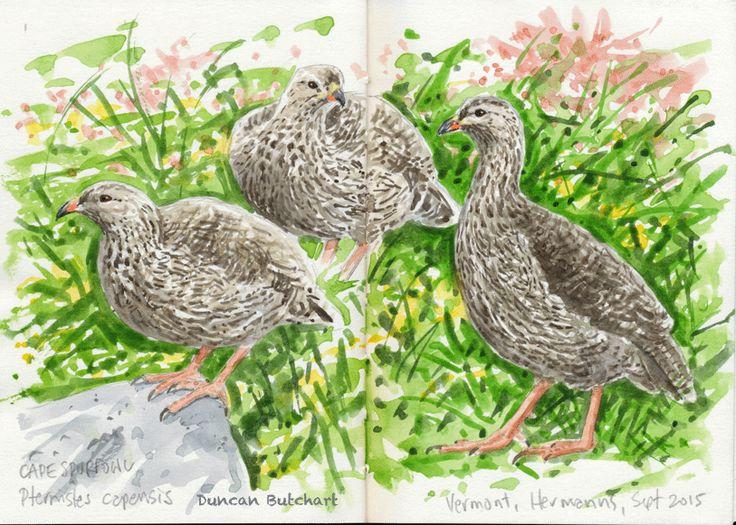 Cape Spurfowl (Pternistes capensis), Vermont, Western Cape, South Africa.