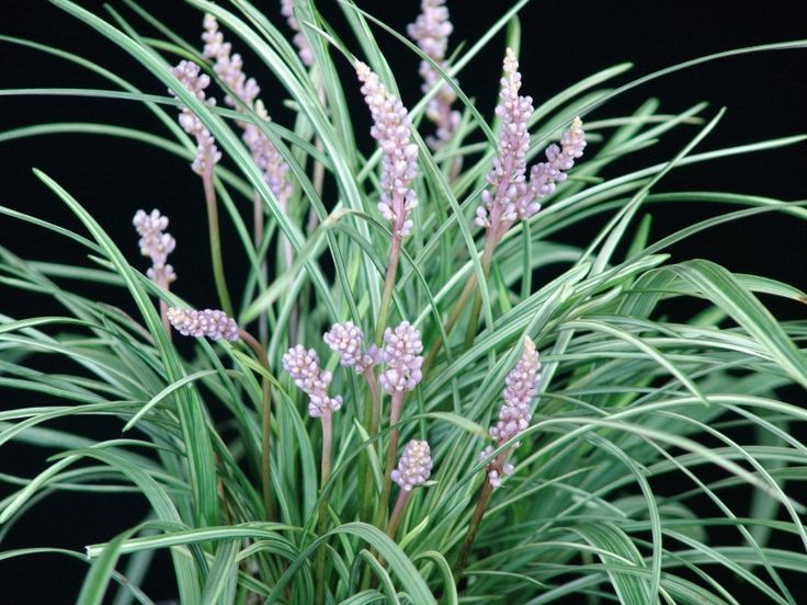 Pink Pearl� Liriope is a compact low growing plant with clean variegated foliage