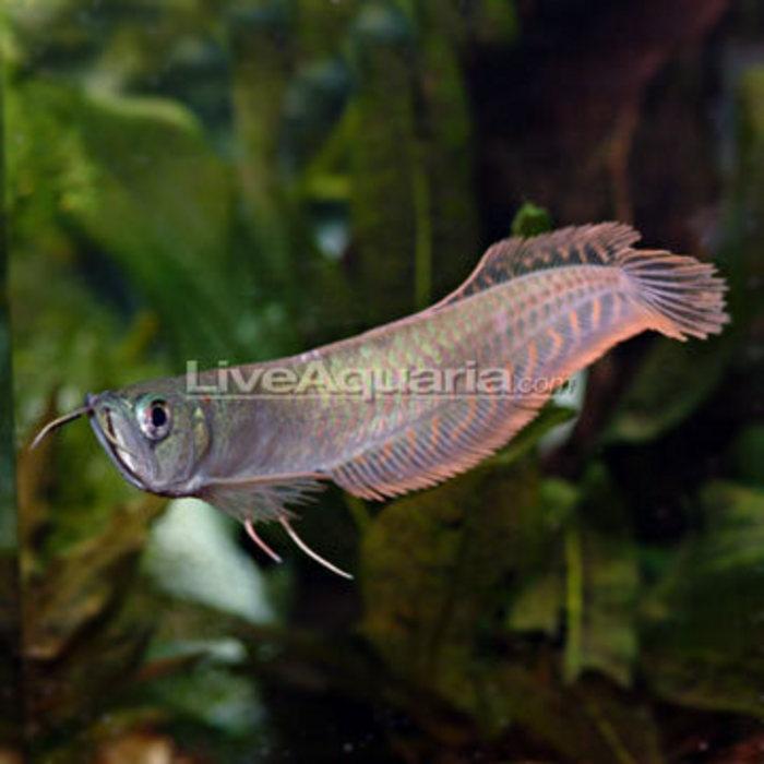 Silver arowana here fishy fish pinterest for Arowana fish tank decoration