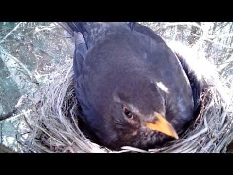 Ptaki Polski - kos,Turdus merula, Blackbird