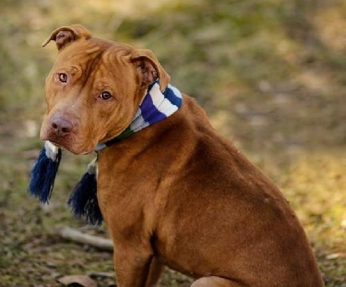 Dog ready for adoption: American Pit Bull Terrier / Mixed (short coat) named Beau in Livonia, MI