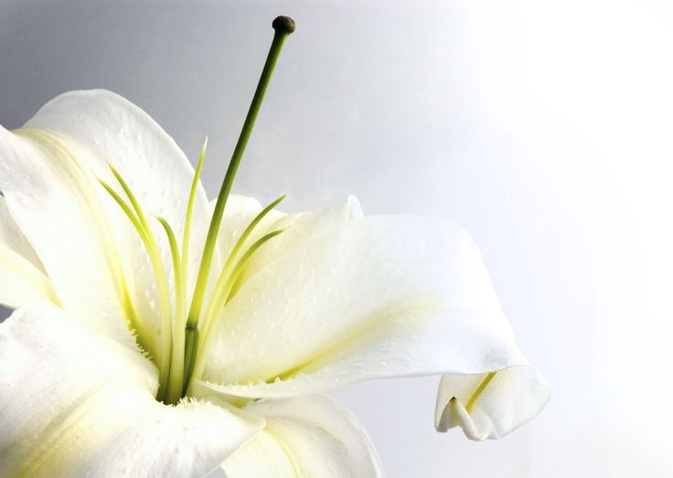 lilies | white lily 150x150 Lilies