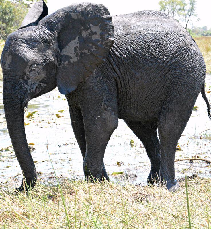 Botswana Abu muddy elephant (Wil 7512)