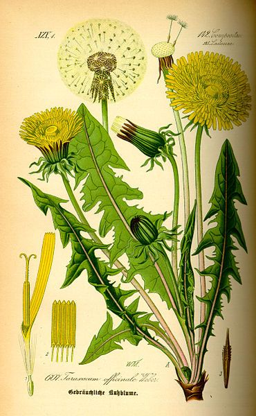 Dandelion -Taraxacum officinale