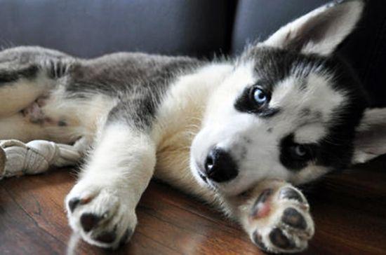 Husky siberiano caracteristicas, super completo!. Descubre la raza de perro Husky Siberiano caracteristicas, aspecto, historia, fotos y curiosidades.