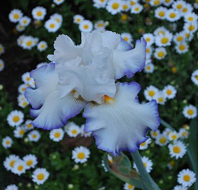 World of kosatců: nápadně krásné květiny