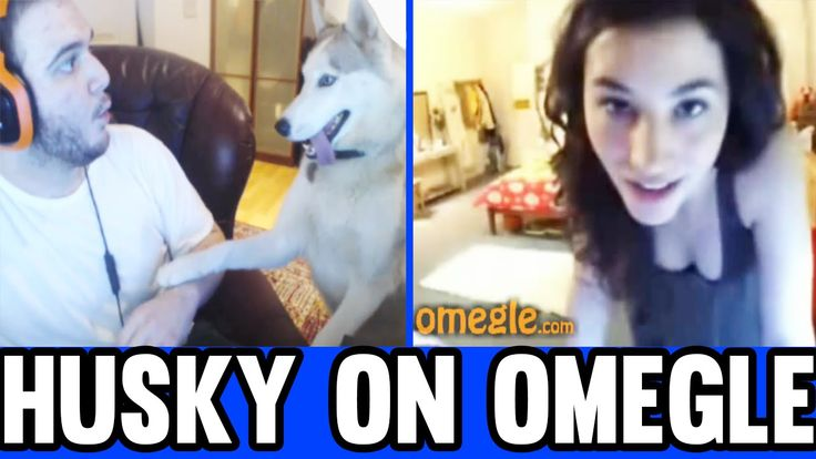 HUSKY ON OMEGLE (Chatroulette and Omegle Funny Moments)