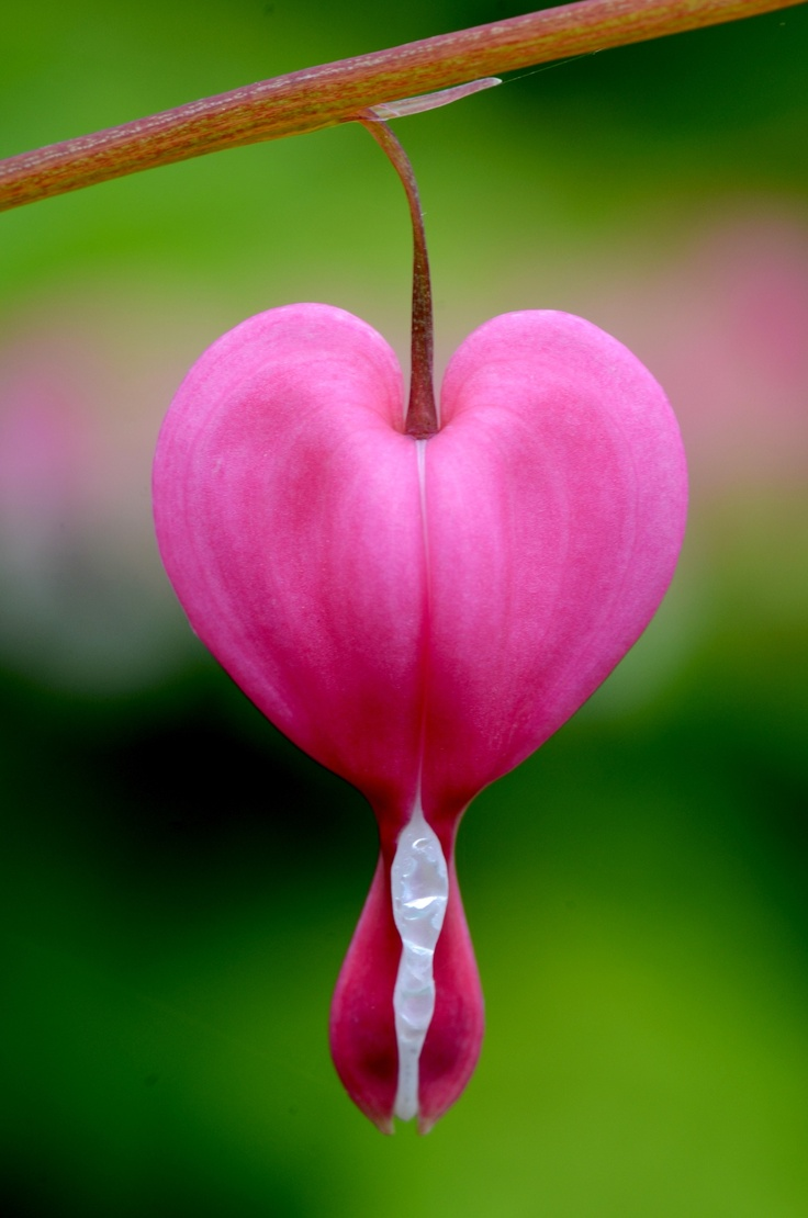 113 Best Flowers Bleeding Hearts Images On Pinterest