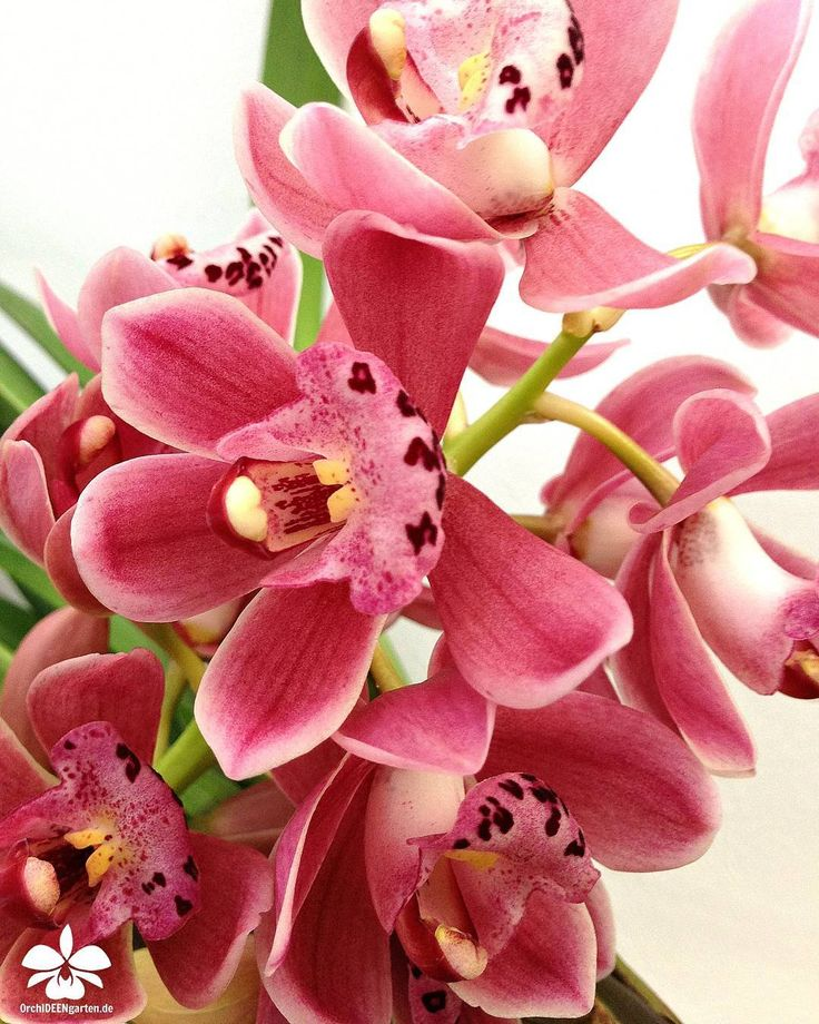 145 best cymbidium orchids images on pinterest. Black Bedroom Furniture Sets. Home Design Ideas