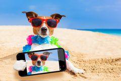 jack russelel honden afbeeldingen | Selfie Del Perro De La Chihuahua Foto de archivo - Imagen: 45231752