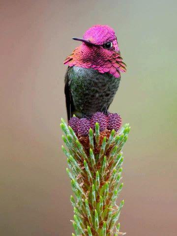 Precioso colibri de cabeza rosa. Beautiful pink hummingbird head.
