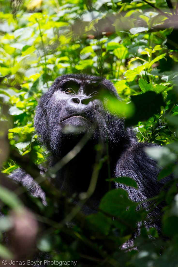 Mountain Gorillas in Bwindi, Uganda   Jonas Beyer Photography
