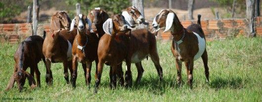 Criação Orgânica de Cabras - benefícios da homeopatia no tratamento da criação #alcanceosucesso