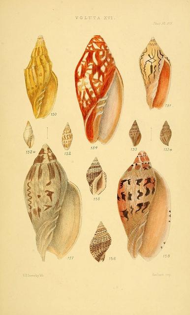 Thesaurus conchyliorum, Sowerby 1847-1887. Biodiv. Library #shells #scientific #illustration